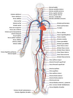 Explore the anatomy of the human cardiovascular system (also known as the circulatory system) with our detailed diagrams and information. Subclavian Artery, Vertebral Artery, Bad Circulation, Improve Circulation, Internal Carotid Artery, Human Body Activities, Physical Activities, Arteries And Veins, Human Body Anatomy
