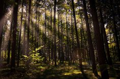 Sun rays in Dutch forest