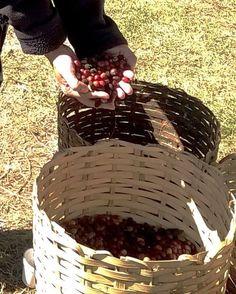 No #DiaDoCafé visitei o #InstitutoBiológico e colhi grãos que são doados para #caridade. #VoceSabia que a maior #plantaçãourbana de #café fica em #SãoPaulo? #Cafezal #Plantação #Sampa #Sp #CafesDoBrasil #EuNaoVivoSemCafe #ABIC #Doação #Cafés #Cafe #Coffe #Coffee #CoffeeLovers #MinhaSpNoGuia #Grao #Direitoàcidade #MaisVerdeMenosConcreto #Verde #VerdeUrbano #MeioAmbiente #UrbanPark #UrbanGreen #Sustentabilidade by eduardopenteado http://ift.tt/1sfMevI