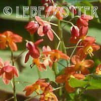Epimedium x warleyense  Fairy Wings/ Barrenwort2