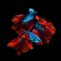 Red-blue siamese fighting fish - Capture the moving moment of red-blue siamese fighting fish isolated on black background. Betta fish by kimberly Colorful Fish, Tropical Fish, Beautiful Creatures, Animals Beautiful, Beta Fish, Shark Fish, Fish Fish, Siamese Fighting Fish, Wale