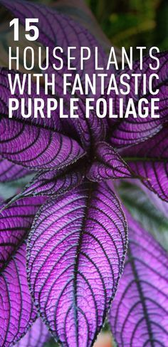 If you want to add a year-round color to your interior, forget about flowering houseplants that embellish your home with their blooms only during the flowering season. Instead, dress up your interior with these houseplants that have colorful and striking foliage. These amazing houseplants with brightly colored purple foliage are certainly different and they catch anyone's eye. Here are 15 top houseplants with fantastic purple foliage.
