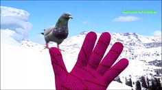Pigeons Bird Finger Family Song | Baby Pigeon Song for Children | Cartoo...