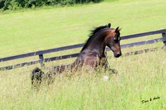 MEM Bailamos- prolific hunter Morgan Stallion with Keely Sogolof in Vermont