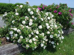Rosaraie de L'Hay and Blanc Double De Coubert A good repeat bloomer, it grows up to 7 feet tall. Zones 3-9