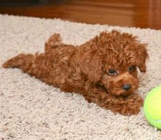 Toy Poodle & Puppies By Design Online Source by The post Toy Poodle & Puppies By Design Online appeared first on Stubbs Training. Poodle Puppies For Sale, Poodle Mix, Cute Puppies, Cute Dogs, Dogs And Puppies, Doggies, Teacup Poodles For Sale, Micro Teacup Puppies, Teacup Poodle Puppies