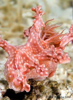 Philippine Nudibranch    ;)