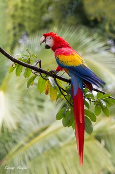 Scarlet Macaw. Calls carry 5 miles when they really get goin.'