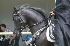 Stunning Black Arabian in Native Costume Class