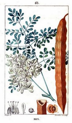 Painting of Moringa oliefera from Flore médicale, by F.P. Chaumeton and others, Paris (1815)