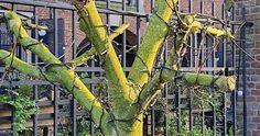 Welke bomen kunnen in een pot? Prunus, Cupressus Sempervirens, Utility Pole, Arch, Outdoor Structures, Gardening, Sycamore Trees, Longbow, Lawn And Garden