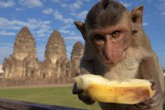 """A monkey eats a banana at an ancient temple during the annual """"monkey buffet"""" in Lopburi province, north of Bangkok, on November 27, 2016. The central Thai town of Lopburi put on a five-star banquet for its hundreds of macaque inhabitants, sparking a mass simian food fight."""