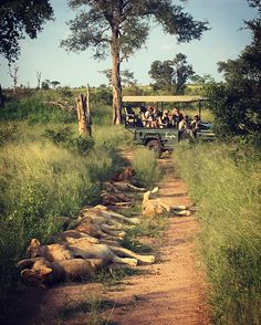 Nice marketing photo.. .  .  .  .  .  #oursingita #singita_ #africanamazing #safari #southafrica #sabisands #wildlife #wildlifephotography #natgeo #naturelovers #nature #wilderness #wildernessculture #iphonese #picoftheday #photooftheday #catsofinstagram #bigcatsofinstagram #lions #lioncub #pride Lion Cub, Cats Of Instagram, Instagram Posts, African Safari, Wildlife Photography, Lions, Wilderness, South Africa, Pride