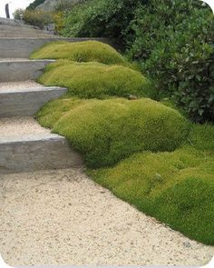 Scleranthus biflorus. New Zealand native ground cover. Moss like and mound forming. Looks great planted with railway sleepers.