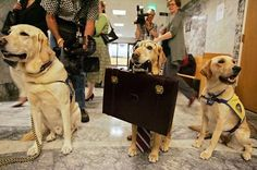 A set of Courthouse Dogs dressed for work. Check out www.courthousedogs.org to learn more about the use of dogs to comfort child victims of abuse during legal proceedings.