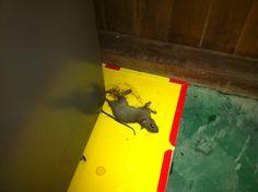Trampas tritón para el control de roedores RPC: 941525528 / RPM: #0110785 / Nextel : 128*8862 / Fijo: 2422918