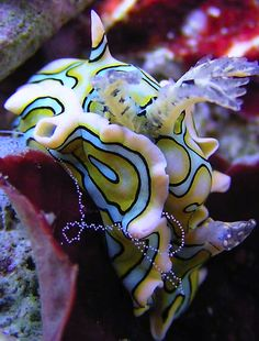 Sagaminopteron psychedelicum Nudibranch. Originally described from Guam, this animal is now known from many parts of the tropical western Pacific Maximal size : 20 mm. Frequently on the reef flat zone and the fore reef zone.