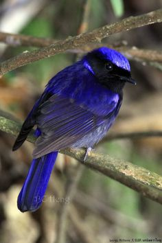 Gorgeous Blue Bird (by Boon Chin Heng)