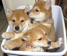 Shiba Inu, Shiba Puppy, Japanese Dog Breeds, Japanese Dogs, Cute Puppies, Cute Dogs, Dogs And Puppies, Doggies, Cute Baby Animals