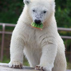 https://flic.kr/p/yuaog6   Snack / おやつ   A polar bear cub eating a piece of watermelon. Maruyama Zoo, Sapporo, Hokkaidō, Japan.  ホッキョクグマの子供がスイカのかけらをかじっていました。このとき親熊はプールで魚を食べています。 北海道札幌市、円山動物園にて。