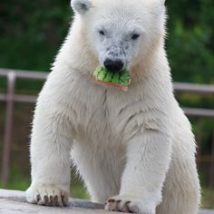 https://flic.kr/p/yuaog6 | Snack / おやつ | A polar bear cub eating a piece of watermelon. Maruyama Zoo, Sapporo, Hokkaidō, Japan.  ホッキョクグマの子供がスイカのかけらをかじっていました。このとき親熊はプールで魚を食べています。 北海道札幌市、円山動物園にて。