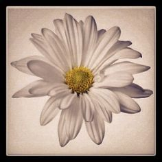 Daisy I want for my tattoo, only with maybe a couple of petals falling Mini Tattoos, Leg Tattoos, Small Tattoos, Sleeve Tattoos, Petite Tattoos, Tattos, Watercolor Daisy Tattoo, Watercolour, Tribal Armband Tattoo