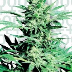Buy your Marijuana Online. 100% guaranteed delivery, tracking, plus a great assortment of Edibles, Concentrates, Sativa's, Indica's & Hybrids. Visit our website to ORDER NOW!! www.dailyweedonline.com