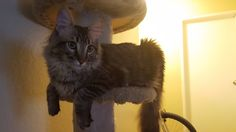 Outgrowing the cat tree at only 10 months old...