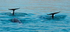 Wild dolphins encountered near Espiritu Santo island, La Paz, Baja California Sur, Mexico
