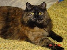 Lizzie is missing! A brown/black tabby cat from Madison, AL