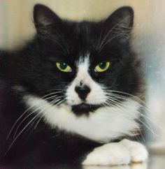 Roxanne is an adoptable Domestic Medium Hair Cat in Port Townsend, WA. Roxanne would have quite a story to tell--if only she could talk! The person who brought her to us had car trouble while driving...