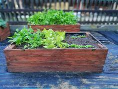 najpierw szpinak, rzodkiewka i sałata Garden Boxes, Gardening, Plants, Composters, Window Boxes, Lawn And Garden, Plant, Planting, Planets