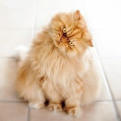 The Fluffalicious Persian Cat Looks Angry to Everyone of You
