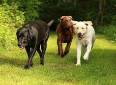 #Labrador Trilogy...We have the trifecta!!!
