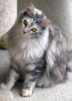 Beautiful Maine Coon ~ love the silver