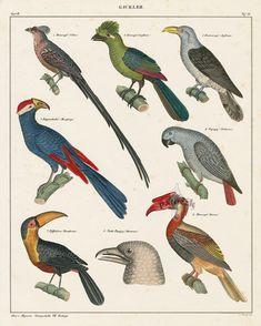 Toucan, Hornbill, Parrot from Bird Egg Prints by Lorenz Oken 1843
