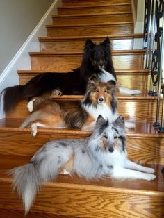 31 Shetland Sheepdog Names [PICTURES If you had a Sheltie what would you name him or her? 31 Shetland Sheepdog Names [PICTURES If you had a Sheltie what would you name him or her? Baby Animals, Funny Animals, Cute Animals, Funny Dogs, Funny Puppies, Beautiful Dogs, Animals Beautiful, Beautiful Family, Shetland Sheepdog Puppies