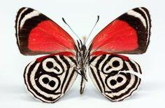 Nymphalidae - Diaethria clymena (Cramer,1775)