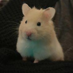 This sub is dedicated to hamsters and their humans. Cute Rats, Cute Funny Animals, Cute Baby Animals, Animals And Pets, Fluffy Animals, Hamster Pics, Hamster Care, Baby Hamster, Funny Hamsters