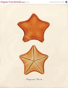 Antique+Starfish+Art+Print++8+x+10++Pentagonasta+by+1001treasures,+$14.00