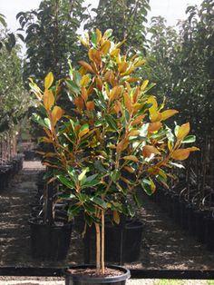 Magnolia grandiflora little gem evergreen magnolia for street magnolia little gem grandiflora sciox Gallery