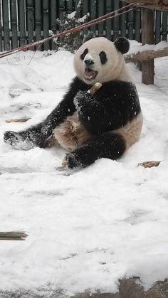 Happy Animals, Cute Funny Animals, Cute Baby Animals, Animals And Pets, Wild Animals, Panda Love, Cute Panda, Panda Bear, Cute Puppies