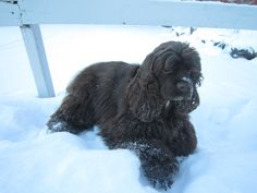 #cockerspaniel #snow #winter