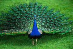 Peacock Walking Across Grass