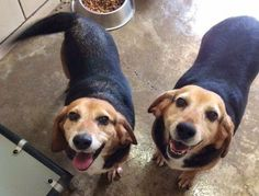 A New Jersey rescue will pull them if there are any interested adopters!! DEATHROW DOGS in OHIO need your HELP!! PLEASE SHARE FRED & BARNEY who are running out of time in a kill shelter.  Basset/Beagle boys, 4 years old, dumped for not being good hunting dogs.  Let's get the word out on them & maybe they'll find a home that needs 2 loving, housetrained, dog-loving pups who want to live! Interested? Please email tammy.probst.smith@gmail.com & tell her you want to HELP FRED & BARNEY stay…