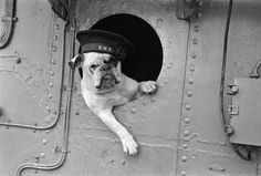 The mascot of the Royal Navy destroyer HMS, Venus the Bulldog, keeps it casual outside of a window in 1941.