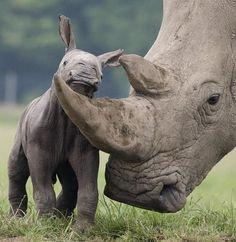 wild life mothers | Rhino Calf and Mother. IAPF - International Anti Poaching Foundation ...