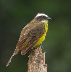 Rusty-margined flycatcher (Myiozetetes cayanensis) Explore Juan D Ramirez Rpo's photos on Flickr.