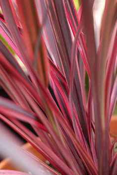 Stunning Plants That Are Naturally Pink Cordyline thrives outdoors but can also be used as a houseplant.Cordyline thrives outdoors but can also be used as a houseplant. Peacock Plant, Zebra Plant, Pink Plant, Hanging Succulents, Hanging Planters, Indoor Fairy Gardens, Indoor Garden, Plants Delivered, Pink Leaves