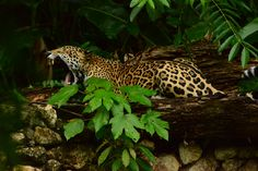 1000  Images About Tattoo Ideas On Pinterest Jaguar Teotihuacan And